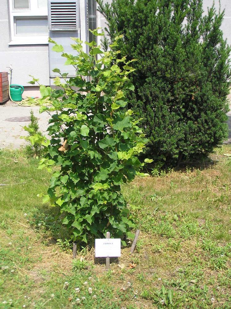 Drzewo Jadwiga