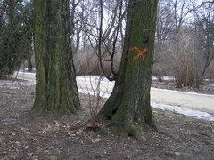 Drzewo oznaczone do wycinki