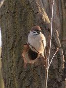 Zdjęcie: Mazurek, ptak Zimowego Ptakoliczenia 2012 (fot. M.Dziadosz)