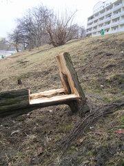 Aleja Wedla - zniszczone drzewa